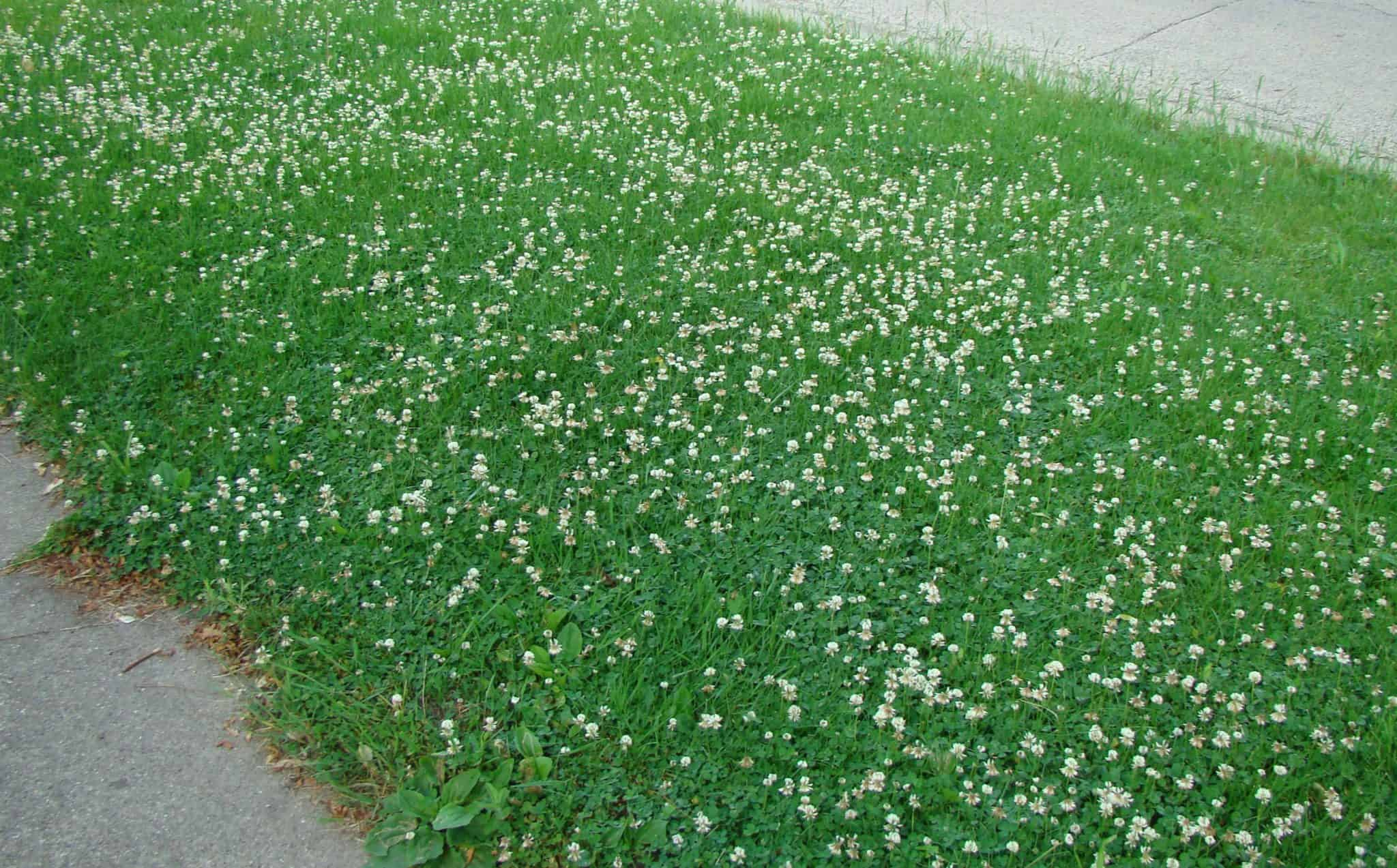 White Clover Perfection Lawn Care